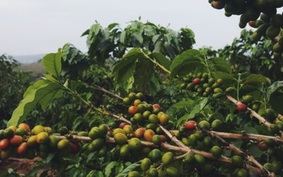 100% Arabica and Quality – How Related Are They?