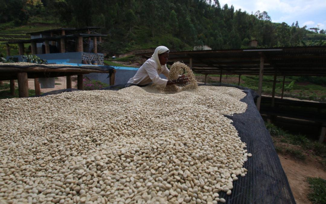Brewing & Tasting: Rwanda Kopakaki