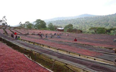 Brewing & Tasting Guide – Ethiopia Yirgacheffe WORKA